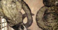 কমলগঞ্জে বিরলপ্রজাতির ২টি গন্ধগোকূল উদ্ধার